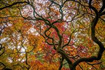 Herbstkleid vom Ahorn von Stephan Gehrlein