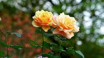 Roses von Sandra Opolka