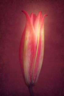 Lily With Mulled Wine Tones von CHRISTINE LAKE