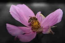 Biene auf Blume2 by raven84