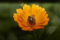 Biene auf Blume3 von raven84