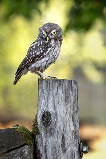 Grumpy little owl von Bettina Dittmann