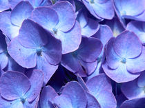 Blaue Hyazinthe Nahaufnahme