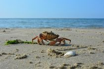 Crab on the beach von Claudia Evans