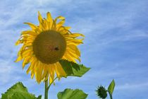 SUNFLOWER by Claudia Evans
