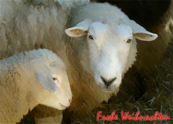 Schaf-mit-lamm