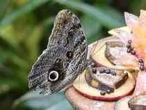 Brazilian Butterfly  by Annika  Leichtweiss