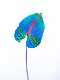 Abstract Anthurium-17 by David Toase