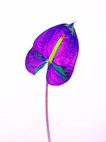 Abstract Anthurium-20 von David Toase