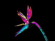 Abstract Bird of Paradise Flower-11 von David Toase