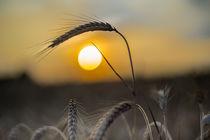 Getreidefeld von urbanek-b
