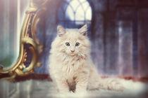 Kitten Maine Coon von Anja Foto Grafia