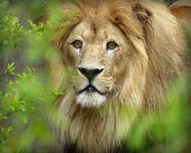 Löwe von maja-310