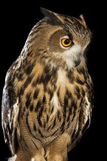 Eurasian Eagle Owl-03 by David Toase
