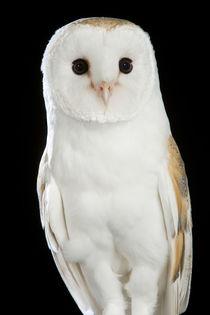 Barn Owl-01 by David Toase
