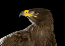 Steppe Eagle-01 by David Toase