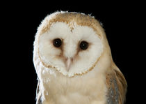 Barn Owl-04 von David Toase