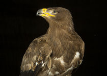Steppe Eagle-05 by David Toase