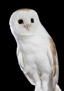 Barn Owl-05 von David Toase