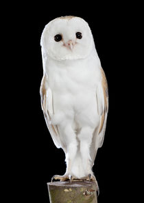Barn Owl-06 von David Toase