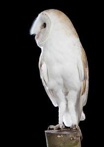 Barn Owl-07 von David Toase