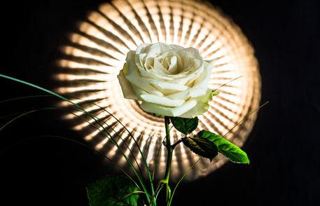 Rose-2-1-von-1