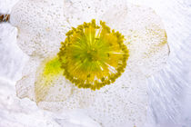 Christrose in kristallklarem Eis 1 von Marc Heiligenstein