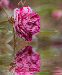 Rose Reflection von Elisabeth  Lucas