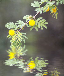 Spring Reflections by Elisabeth  Lucas