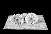 Three Silver Daisies von Elisabeth  Lucas