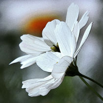 white flowers by pradeesh k raman