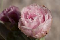 Delightful Pink Cactus Blossom by Elisabeth  Lucas