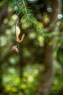 Herbstnasenspinnwebzweiglein von Martina Marten