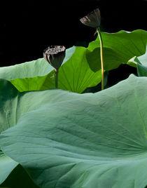 Giant lotus by David Halperin