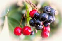 Berries von Jeremy Sage