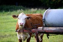 Kuh von Sascha Stoll