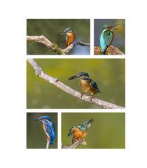 Eisvogel-Collage von Ursula Di Chito