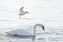 White swan and seagull by Igor Sinitsyn