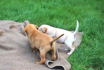 Labradorwelpen beim Spielen von Daiana Hahn