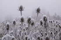 Disteln mit Raureif im Nebel von Christine Horn