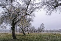 Apfelbaum im Winter mit Raureif und Früchten von Christine Horn