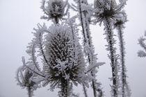 Disteln mit Raureif im Nebel II von Christine Horn