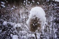 Distel mit Schneehütchen von Christine Horn