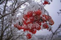"""""""Geeiste"""" rote Beeren des Gemeinen Schneeballs im Winter by Christine Horn"""