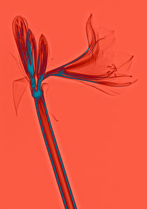 Durchleuchtete Amaryllis Vol. 2 by Lanuma - colourful art