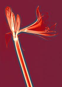 Durchleuchtete Amaryllis Vol. 3 by Lanuma - colourful art