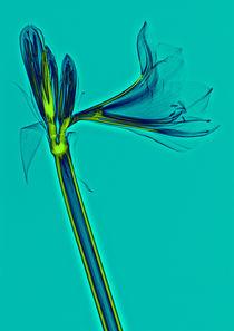 Durchleuchtete Amaryllis von Lanuma - colourful art