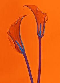 Durchleuchtete Calla Vol. 2 von Lanuma - colourful art