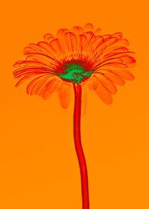 Durchleuchtete Gerbera Vol. 4 von Lanuma - colourful art