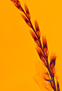 Durchleuchtete Gladiole von Lanuma - colourful art